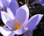 Pracht Krokus Bluete hellblau Crocus speciosus 04