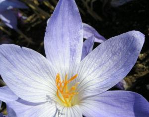 Pracht Krokus Bluete hellblau Crocus speciosus 05
