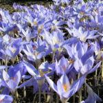 Pracht Krokus Bluete hellblau Crocus speciosus 06