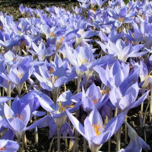 Bild: Pracht Krokus Bluete hellblau Crocus speciosus