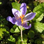 Pracht Krokus Bluete lila Crocus speciosus 01
