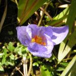 Pracht Krokus Bluete lila Crocus speciosus 02