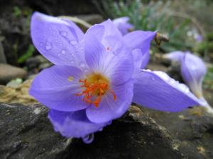 Pracht Krokus Bluete lila Crocus speciosus 03