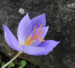 Pracht Krokus Bluete lila Crocus speciosus 04
