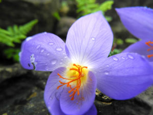 Pracht Krokus Bluete lila Crocus speciosus 07
