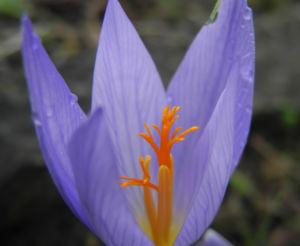 Pracht Krokus Bluete lila Crocus speciosus 10