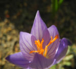 Pracht Krokus Bluete lila Crocus speciosus 12