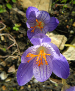 Pracht Krokus Bluete lila Crocus speciosus 14