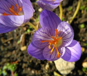 Pracht Krokus Bluete lila Crocus speciosus 15