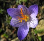 Bild: Pracht Krokus Blüte lila Crocus speciosus