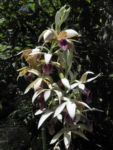 Pracht Orchidee Bluete weiss Phaius tankervilleae 01