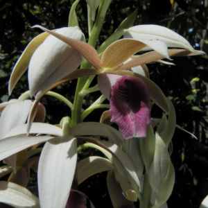 Pracht Orchidee Bluete weiss Phaius tankervilleae 02