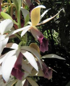 Pracht Orchidee Bluete weiss Phaius tankervilleae 03