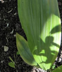 Pracht Orchidee Bluete weiss Phaius tankervilleae 06