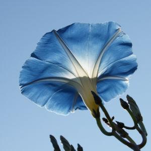Prachtwinde Bluete hellblau Ipomea tricolor 04