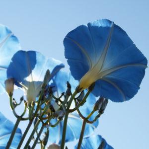 Prachtwinde Bluete hellblau Ipomea tricolor 05
