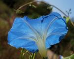 Prachtwinde Bluete hellblau Ipomea tricolor 07