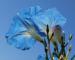 Zurück zum kompletten Bilderset Himmelblaue Prunkwinde Blüte hellblau Ipomea tricolor