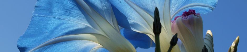 himmelblaue-prunkwinde-bluete-hellblau-ipomea-tricolor