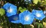 Prachtwinde Bluete hellblau Ipomea tricolor 09