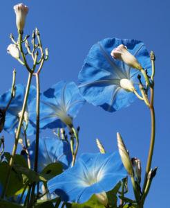 Prachtwinde Bluete hellblau Ipomea tricolor 13