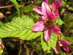 Praechtige Himbeere Bluete hellrot Rubus spectabilis 01