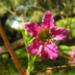 Praechtige Himbeere Bluete hellrot Rubus spectabilis 03