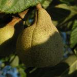 Praechtige Rosskastanie Frucht braun gruenlich Aesculus splendens 01