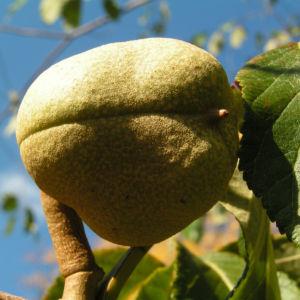 Praechtige Rosskastanie Frucht braun gruenlich Aesculus splendens 02