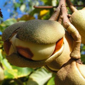 Praechtige Rosskastanie Frucht braun gruenlich Aesculus splendens 03