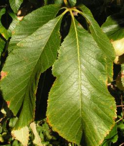 Praechtige Rosskastanie Frucht braun gruenlich Aesculus splendens 05
