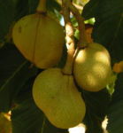Praechtige Rosskastanie Frucht braun gruenlich Aesculus splendens 06
