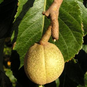 Praechtige Rosskastanie Frucht braun gruenlich Aesculus splendens 08