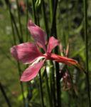 Praeriekerze Bluete weiß rosa Gaura lindheimeri 03