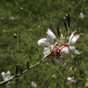 Praeriekerze Bluete weiß rosa Gaura lindheimeri 05