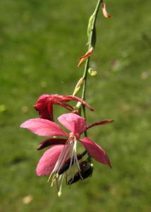 Praeriekerze Bluete weiß rosa Gaura lindheimeri 08