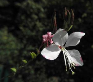 Bild: Praeriekerze Bluete weiß rosa Gaura lindheimeri