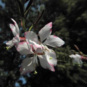Praeriekerze Bluete weiß rosa Gaura lindheimeri 11