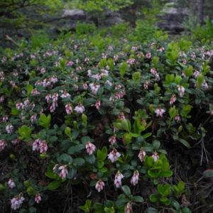 Preiselbeere Bluete weiss rose Vaccinium vitis idaea 07