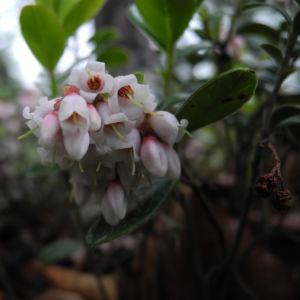 Preiselbeere Bluete weiss rose Vaccinium vitis idaea 08