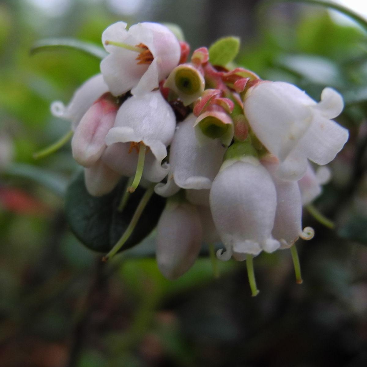 Preiselbeere Bluete weiss rose Vaccinium vitis idaea