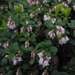 Preiselbeere Bluete weiss rose Vaccinium vitis idaea 11