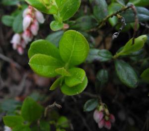 Bild: Preiselbeere Bluete weiss rose Vaccinium vitis idaea
