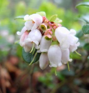 Preiselbeere Bluete weiss rose Vaccinium vitis idaea 16