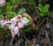 Zurück zum kompletten Bilderset Preiselbeere Blüte weiß Vaccinium vitis idaea