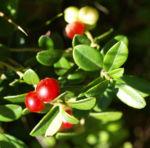 Preiselbeere Frucht rot Vaccinium vitis idaea 01