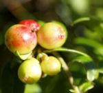 Preiselbeere Frucht rot Vaccinium vitis idaea 02
