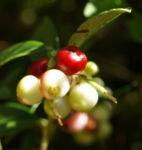 Preiselbeere Frucht rot Vaccinium vitis idaea 03