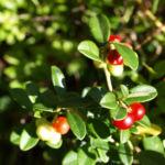 Bild: Preiselbeere Frucht rot Vaccinium vitis-idaea