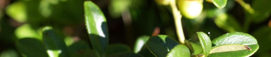 preiselbeere-frucht-rot-vaccinium-vitis-idaea